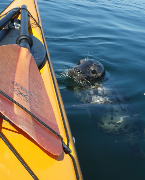 seal at sea kayak